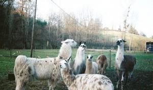 La rencontre des lamas dans les Alpes
