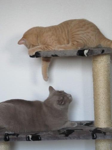 British Shorthair et arbre à chat