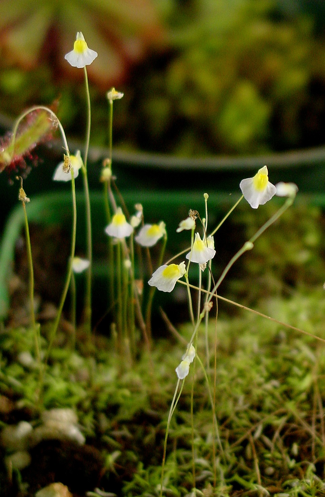utricularia_bisquamata