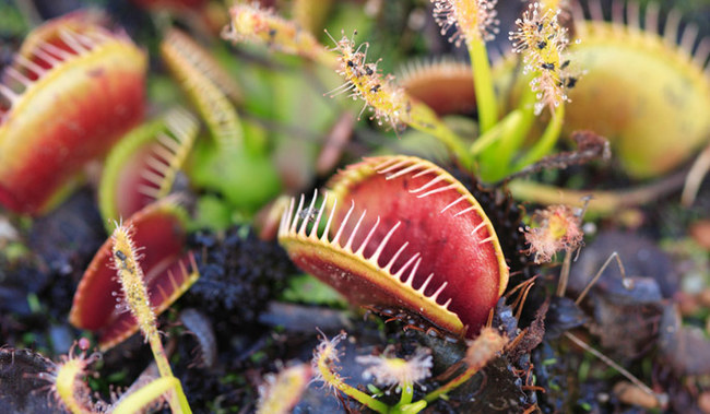 quelle-plante-carnivore-choisir-138450_w650