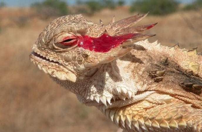Le lézard à cornes et ses larmes de sang